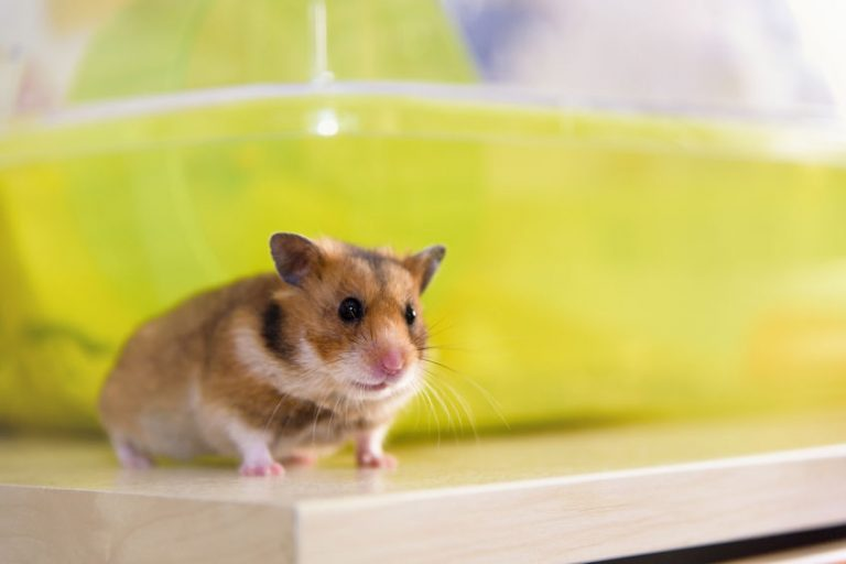 Hamster runs near his cage