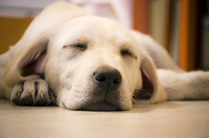 young beautiful white labrador retriever sleeping looking very cute, soft and cuddly