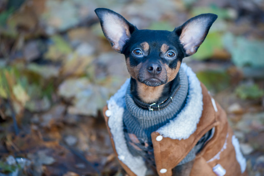 Dog, a toy terrier, a stylishly dressed little dog in a sweater and a sheepskin coat, against the backdrop of late autumn.